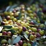 Lavoro Calabria: cercasi 6 addetti alla raccolta delle olive